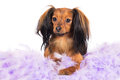 Russian toy terrier dog red breeed Royalty Free Stock Image