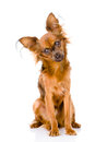 Russian toy terrier looking curiously at the camera isolated on white Stock Photo