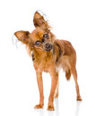 Russian toy terrier looking curiously at the camera on white Royalty Free Stock Images