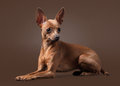Russian toy terrier puppy on dark brown background small Royalty Free Stock Images