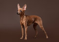 Russian toy terrier puppy on dark brown background small Royalty Free Stock Photography