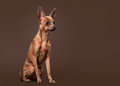Russian toy terrier puppy on dark brown background young Stock Photos