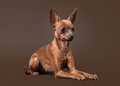 Russian toy terrier puppy on dark brown background young Royalty Free Stock Photos
