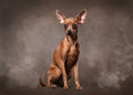 Russian toy terrier puppy in fog on dark brown background small Royalty Free Stock Images