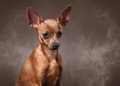 Russian toy terrier puppy in fog on dark brown background small Royalty Free Stock Photography