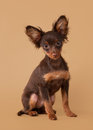 Russian toy terrier puppy light brown background Royalty Free Stock Photography