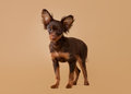 Russian toy terrier puppy light brown background Royalty Free Stock Image