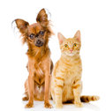 Russian toy terrier and red cat sitting in front. isolated on wh Royalty Free Stock Photo