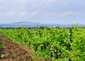 Russian vineyards Royalty Free Stock Photography