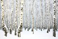 Russian winter - Birch Grove Royalty Free Stock Photo