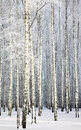 Russian winter - Birch Grove on blue sky background Royalty Free Stock Photo