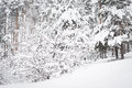 Russian winter forest in snow Royalty Free Stock Photo