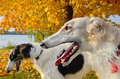 Russian wolfhounds Royalty Free Stock Photo