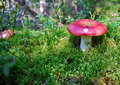 Russula mushroom in the forest Stock Images