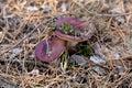 Russula mushrooms Royalty Free Stock Photography