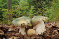 Russula virescens commonly known as the green cracking russula the quilted green russula or the green brittlegill mushroom with Royalty Free Stock Photo