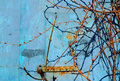 Rust on blue old painted metal.  Spring grapevine with kidneys. Royalty Free Stock Photo