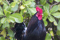 Ruster chicken portrait in Hawaii Royalty Free Stock Photo
