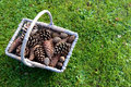Rustic basket full of pine cones on grass green with copy space Royalty Free Stock Photography