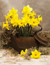 Rusty antique teapot filled with bright fresh daffodils Stock Photos