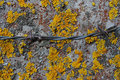 Rusty barbed wire on concrete porosgem yellow moss moss grown c and pillar covered with and Royalty Free Stock Image