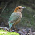 Rusty naped pitta oatesi standing on the rock back profile Royalty Free Stock Images