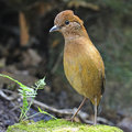 Rusty naped pitta oatesi standing on the rock breast profile Royalty Free Stock Photography