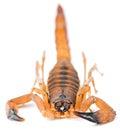 The rusty thick tail scorpion babycurus jacksoni red bark tanzanian bark Stock Photos