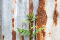 Rusty zinc sheet background texture of and a little green plant Royalty Free Stock Photography