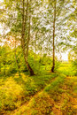 Rut in birch forest passing through the Stock Image