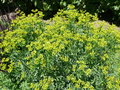 Ruta graveolens rue common rue garden rue herbygrass herb of grace Stock Image