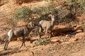 Rutting Desert Bighorn Sheep
