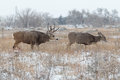 Rutting Mule Deer Buck Royalty Free Stock Photo