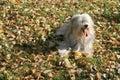 Ruwharige hond. Royalty-vrije Stock Afbeeldingen