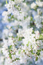 Árvore de Apple de florescência do caranguejo de Bouqet da mola das naturezas Imagem de Stock