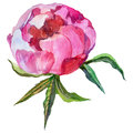RWildflower peony flower in a watercolor style isolated.