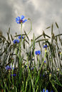 Rye and cornflowers Royalty Free Stock Photos