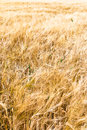 Rye field of golden classes closeup Stock Photography