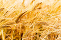 Rye field of golden classes closeup Stock Photo