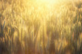 Rye field in golden sunshine of lit with bright Stock Image
