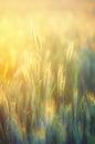 Rye field in golden sunshine Royalty Free Stock Photo