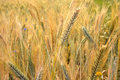 Rye field natural summer background Royalty Free Stock Photos