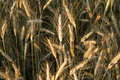 Rye field with spikelets Royalty Free Stock Photography