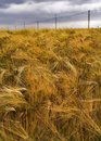 Rye field under dramatic sky Royalty Free Stock Photo