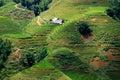 Ryżowi pola Zdjęcia Stock