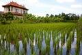 Ryżowi pola Obraz Royalty Free