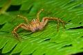 Rysia pomarańcze pająk Zdjęcia Royalty Free