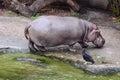 Rzeczny hipopotam jest z wody hipopotamowy amphibius Obraz Royalty Free