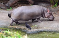 Rzeczny hipopotam jest z wody hipopotamowy amphibius Zdjęcia Royalty Free