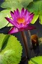 Süßwasser des Lotos Thai.Beautiful für den Garten. Stockbild